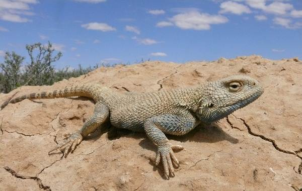 Виды-ящериц-с-названиями-особенностями-и-фото-8