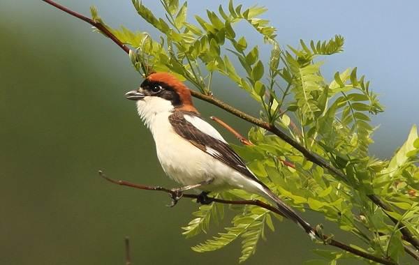 Певчие-птицы-их-названия-особенности-виды-и-фото-10