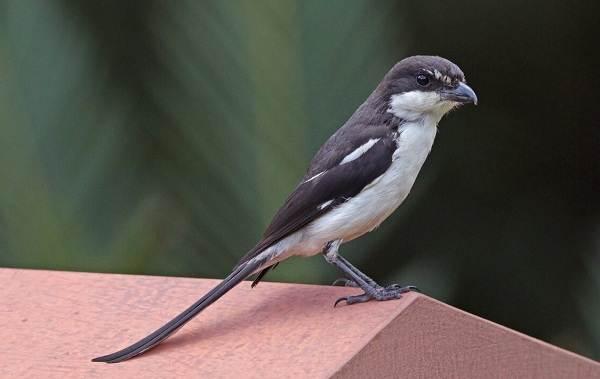 Певчие-птицы-их-названия-особенности-виды-и-фото-11