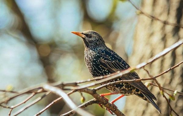 Певчие-птицы-их-названия-особенности-виды-и-фото-14
