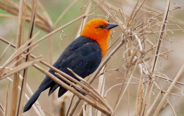 Певчие-птицы-их-названия-особенности-виды-и-фото-15