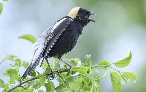 Певчие-птицы-их-названия-особенности-виды-и-фото-16