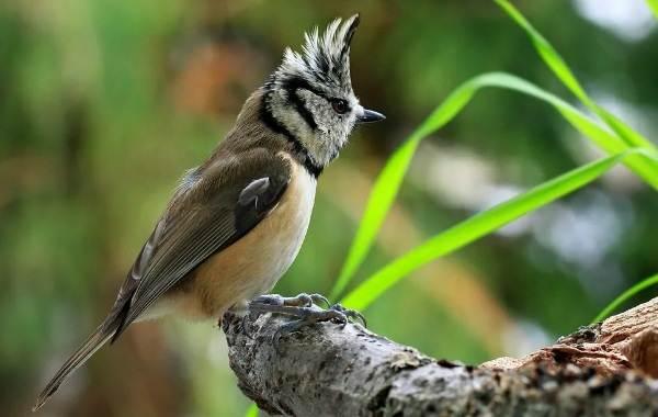 Певчие-птицы-их-названия-особенности-виды-и-фото-18