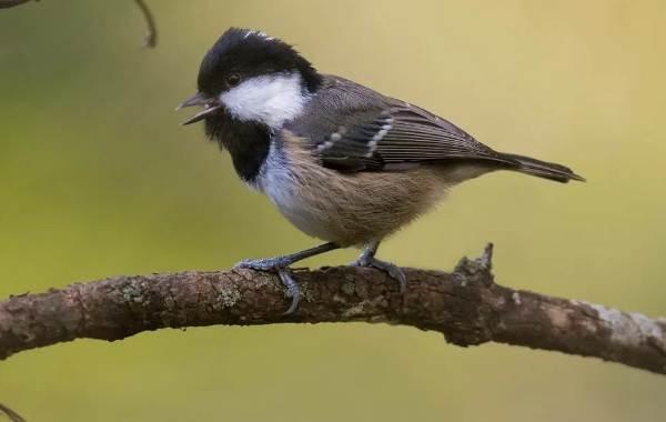 Певчие-птицы-их-названия-особенности-виды-и-фото-19