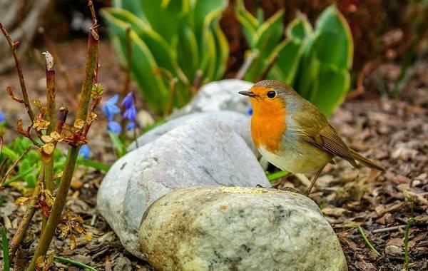 Певчие-птицы-их-названия-особенности-виды-и-фото-2