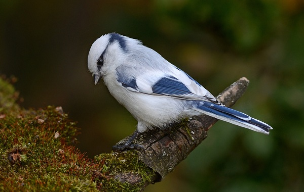 Певчие-птицы-их-названия-особенности-виды-и-фото-20