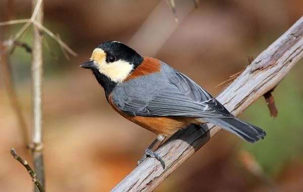 Певчие-птицы-их-названия-особенности-виды-и-фото-22