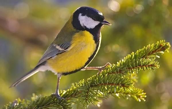 Певчие-птицы-их-названия-особенности-виды-и-фото-23