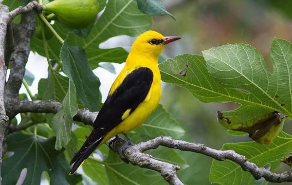 Певчие-птицы-их-названия-особенности-виды-и-фото-24