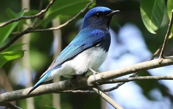 Певчие-птицы-их-названия-особенности-виды-и-фото-26