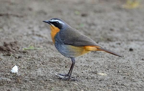 Певчие-птицы-их-названия-особенности-виды-и-фото-27