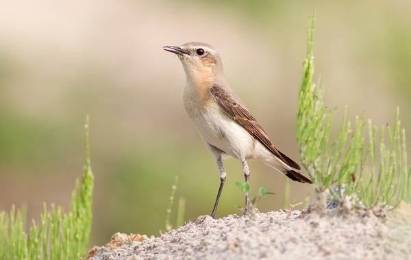 Певчие-птицы-их-названия-особенности-виды-и-фото-28
