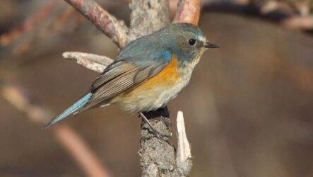 Певчие птицы, их названия, особенности, виды и фото