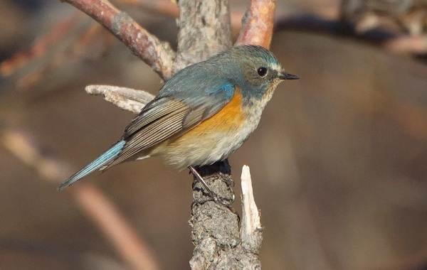 Певчие-птицы-их-названия-особенности-виды-и-фото-30