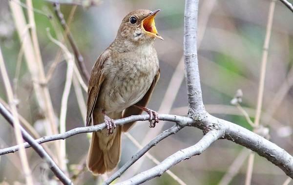Певчие-птицы-их-названия-особенности-виды-и-фото-32