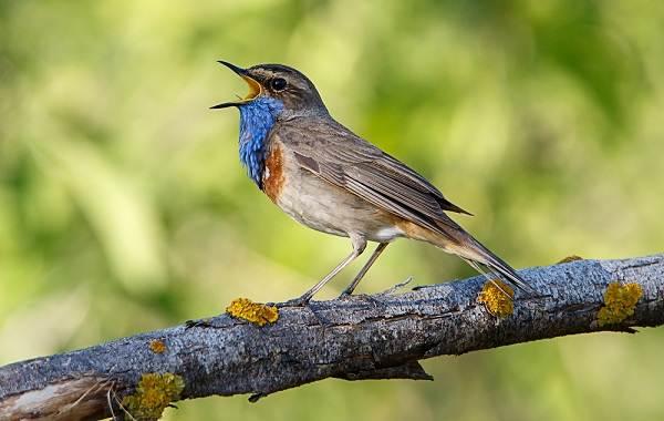 Певчие-птицы-их-названия-особенности-виды-и-фото-33