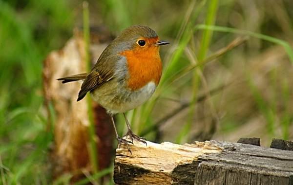 Певчие-птицы-их-названия-особенности-виды-и-фото-34