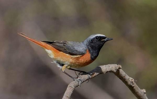 Певчие-птицы-их-названия-особенности-виды-и-фото-35