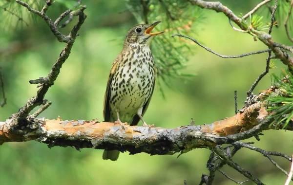 Певчие-птицы-их-названия-особенности-виды-и-фото-36
