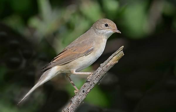 Певчие-птицы-их-названия-особенности-виды-и-фото-37