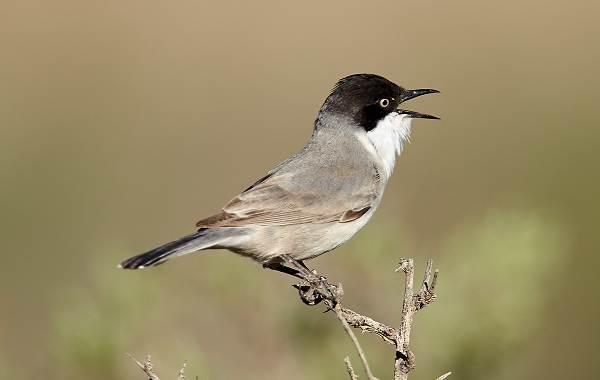 Певчие-птицы-их-названия-особенности-виды-и-фото-38