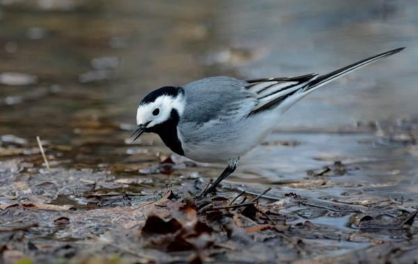 Певчие-птицы-их-названия-особенности-виды-и-фото-39
