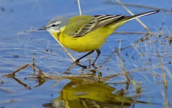 Певчие-птицы-их-названия-особенности-виды-и-фото-40