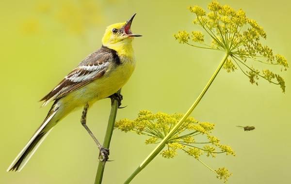 Певчие-птицы-их-названия-особенности-виды-и-фото-41