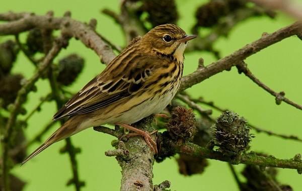 Певчие-птицы-их-названия-особенности-виды-и-фото-43