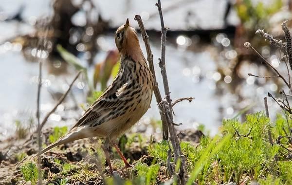 Певчие-птицы-их-названия-особенности-виды-и-фото-44