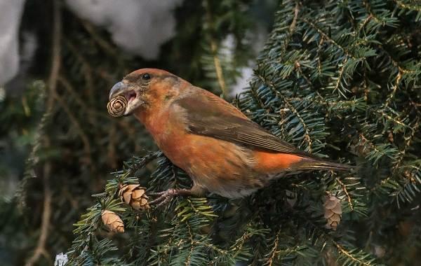 Певчие-птицы-их-названия-особенности-виды-и-фото-47