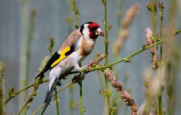 Певчие-птицы-их-названия-особенности-виды-и-фото-48