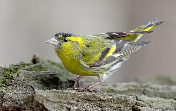 Певчие-птицы-их-названия-особенности-виды-и-фото-49