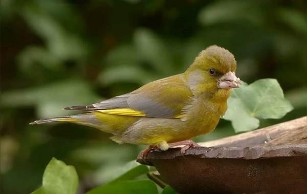 Певчие-птицы-их-названия-особенности-виды-и-фото-50