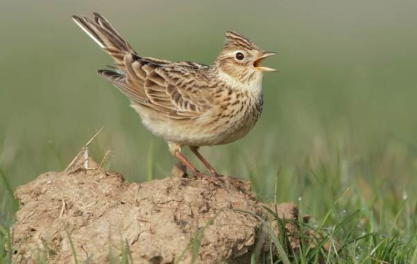 Певчие-птицы-их-названия-особенности-виды-и-фото-51