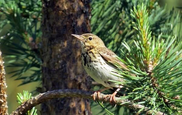 Певчие-птицы-их-названия-особенности-виды-и-фото-52