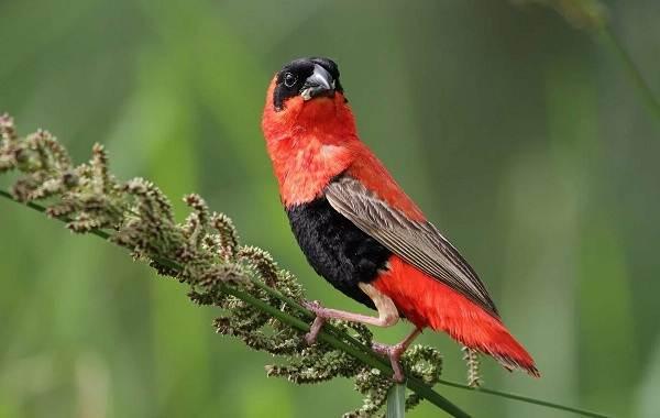 Певчие-птицы-их-названия-особенности-виды-и-фото-54