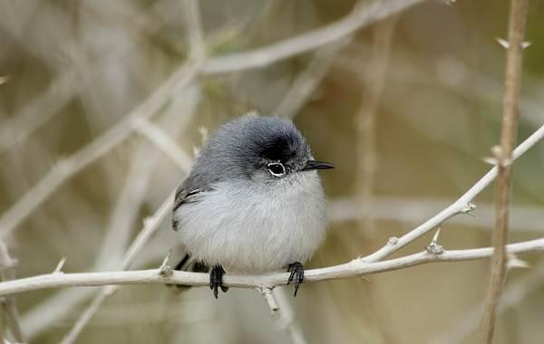 Певчие-птицы-их-названия-особенности-виды-и-фото-55