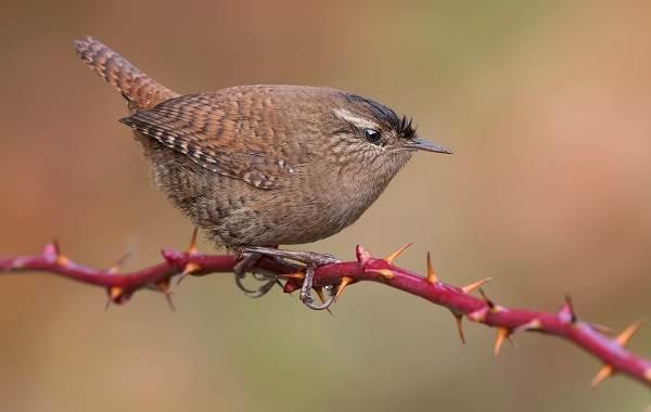 Певчие-птицы-их-названия-особенности-виды-и-фото-56