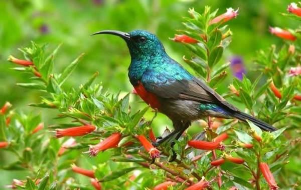 Певчие-птицы-их-названия-особенности-виды-и-фото-57