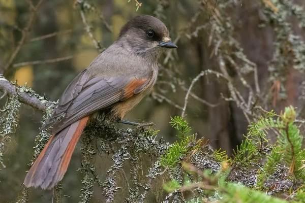 Певчие-птицы-их-названия-особенности-виды-и-фото-6