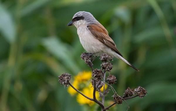 Певчие-птицы-их-названия-особенности-виды-и-фото-9