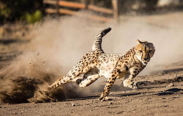 12-самых-быстрых-животных-планеты-13