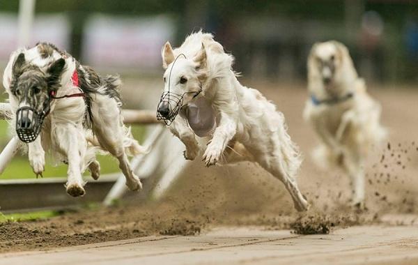 12-самых-быстрых-животных-планеты-22