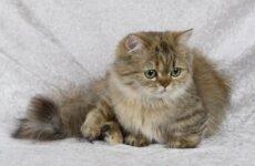 Кошка породы Наполеон, её особенности, характер, уход и цена