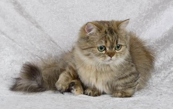 Кошка-породы-Наполеон-её-особенности-характер-уход-и-цена-1