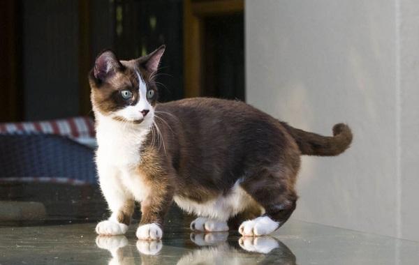 Кошка-породы-Наполеон-её-особенности-характер-уход-и-цена-10