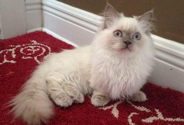 Кошка-породы-Наполеон-её-особенности-характер-уход-и-цена-2
