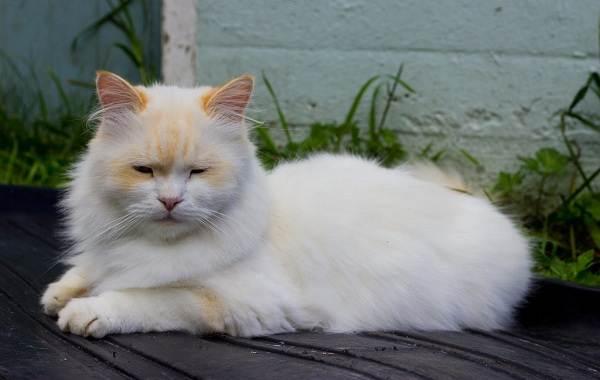 Кошка-породы-Наполеон-её-особенности-характер-уход-и-цена-3