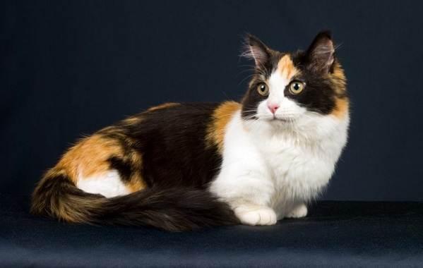 Кошка-породы-Наполеон-её-особенности-характер-уход-и-цена-5